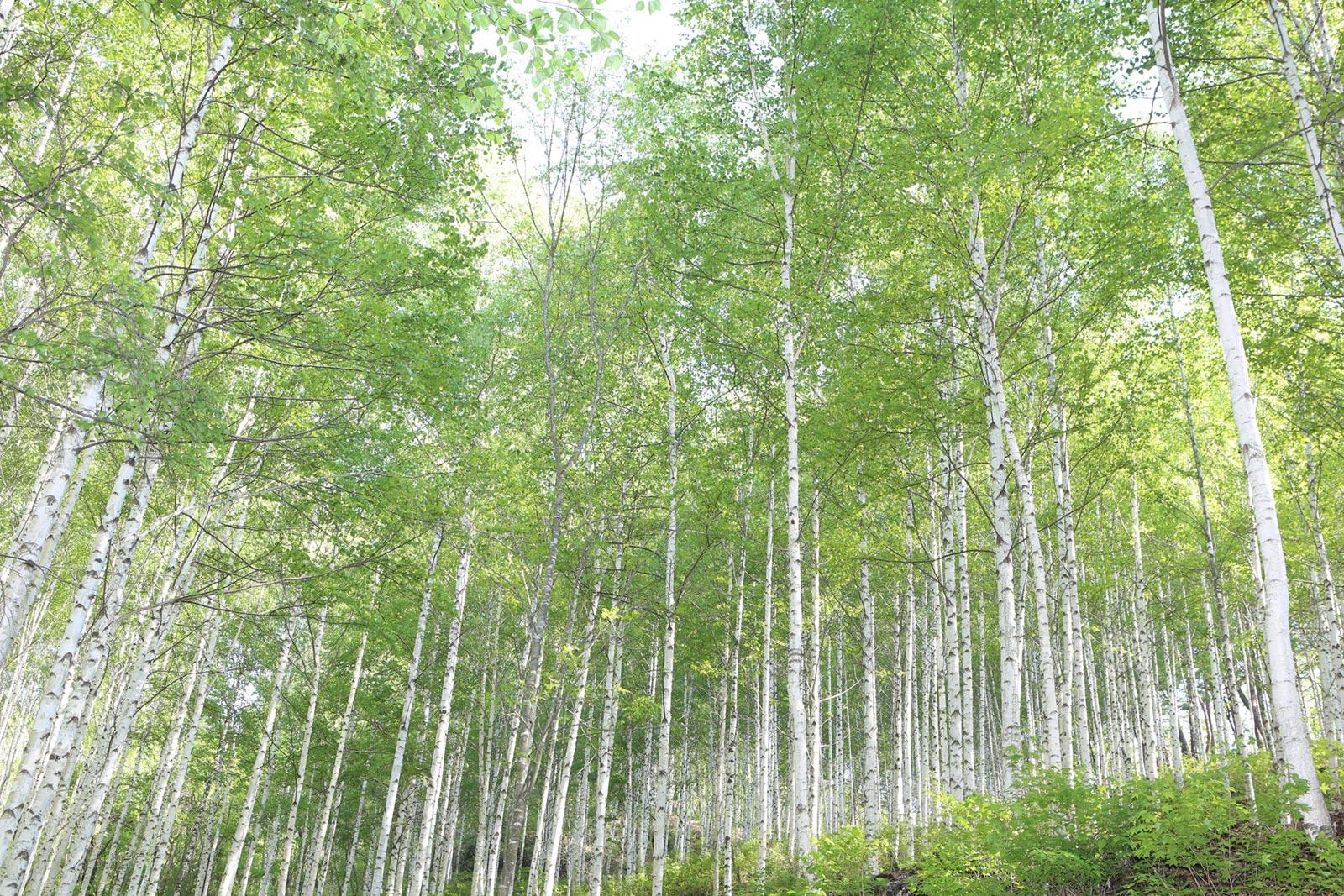 院垈里白樺の森